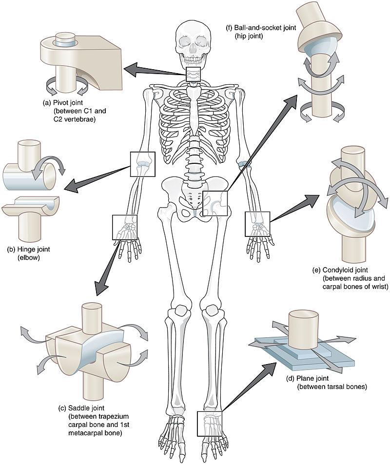 Classification Of Joints - Fibrous Joints - Cartilaginous Joints ...