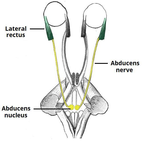 The Abducens Nerve (CN VI) - Course - Motor - TeachMeAnatomy