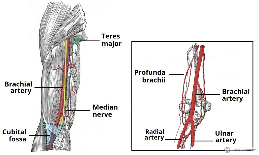 upper extremity arteries