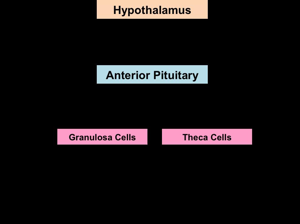 Gnrh Feedback Loop: Amenorrhoea & Oligomenorrhoea