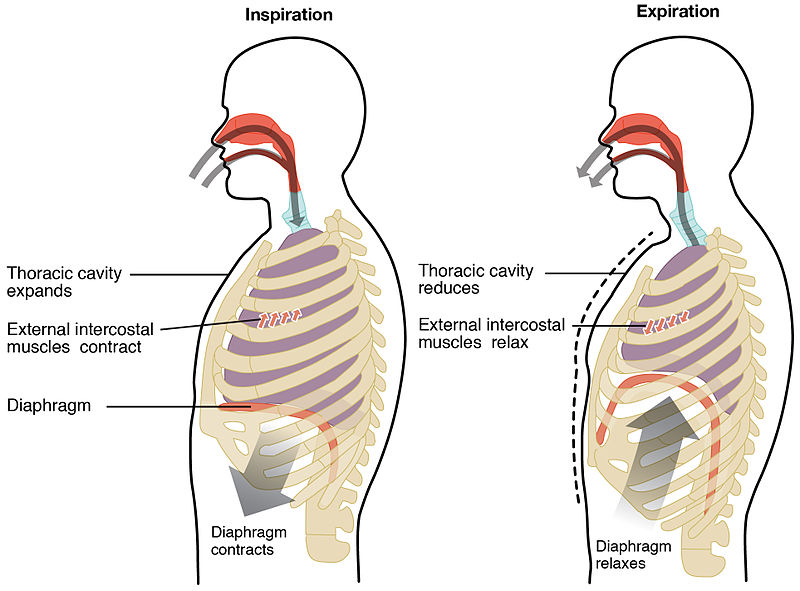mechanics of breathing inspiration expiration teachmephysiology Diaphragm Muscle Diagram fig 2 diagram showing the process of inspiration and expiration at rest