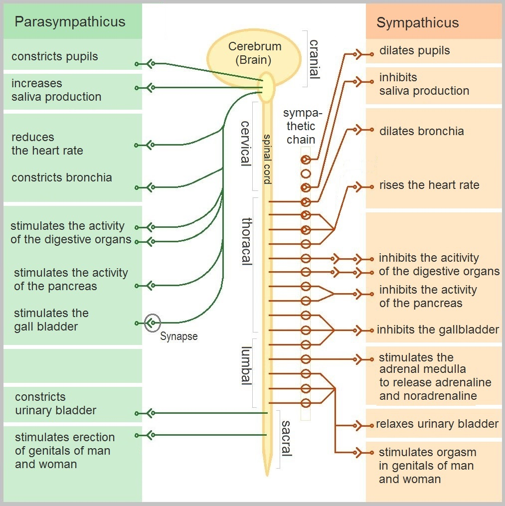Fig 2 – Functions of the sympathetic and parasympathetic nervous systems