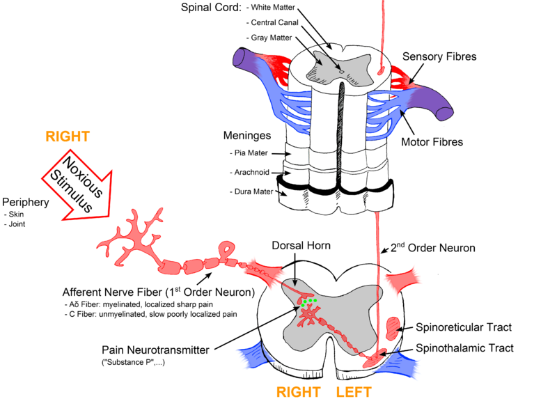 Pain Pathways - The General Pain Pathway - Activation of ...