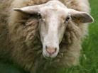 Two Stupid Sheep