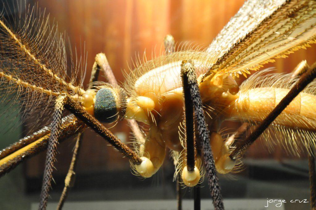 A close up a mosquito