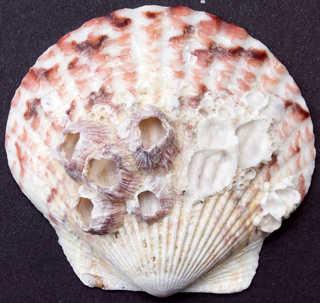 Shells 0013