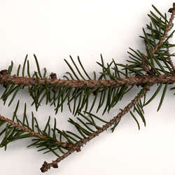 Conifer Cones and Needles Category