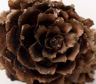 Texture of /plants/conifer-cones-and-needles/conifer-cones-and-needles_0002_03