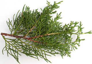 Texture of /plants/conifer-cones-and-needles/conifer-cones-and-needles_0003_02