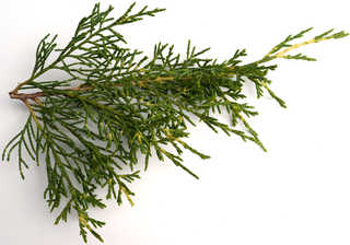 Texture of /plants/conifer-cones-and-needles/conifer-cones-and-needles_0003_03