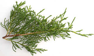 Texture of /plants/conifer-cones-and-needles/conifer-cones-and-needles_0003_04