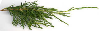 Texture of /plants/conifer-cones-and-needles/conifer-cones-and-needles_0003_06