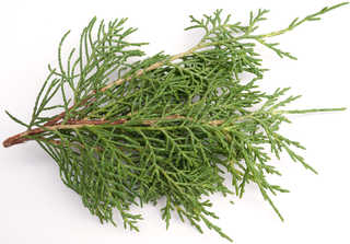 Texture of /plants/conifer-cones-and-needles/conifer-cones-and-needles_0003_08
