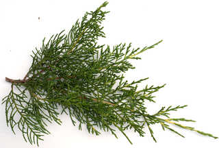 Texture of /plants/conifer-cones-and-needles/conifer-cones-and-needles_0003_10
