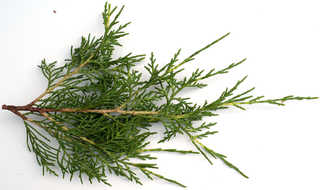 Texture of /plants/conifer-cones-and-needles/conifer-cones-and-needles_0003_11