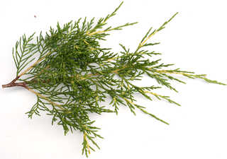 Texture of /plants/conifer-cones-and-needles/conifer-cones-and-needles_0003_12