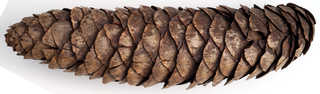 Texture of /plants/conifer-cones-and-needles/conifer-cones-and-needles_0005_02