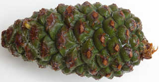 Texture of /plants/conifer-cones-and-needles/conifer-cones-and-needles_0016_02