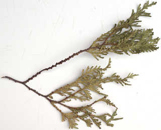 Texture of /plants/conifer-cones-and-needles/conifer-cones-and-needles_0019_02