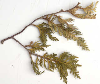 Texture of /plants/conifer-cones-and-needles/conifer-cones-and-needles_0019_04