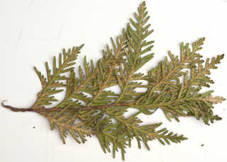 Texture of /plants/conifer-cones-and-needles/conifer-cones-and-needles_0019_05