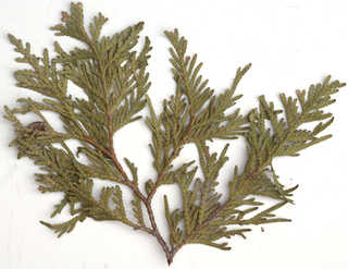 Texture of /plants/conifer-cones-and-needles/conifer-cones-and-needles_0019_07