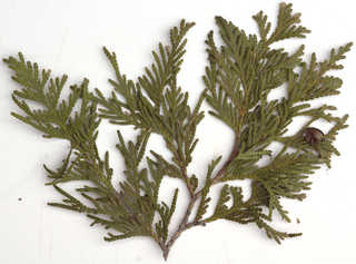 Texture of /plants/conifer-cones-and-needles/conifer-cones-and-needles_0019_08