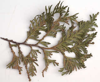 Texture of /plants/conifer-cones-and-needles/conifer-cones-and-needles_0019_12