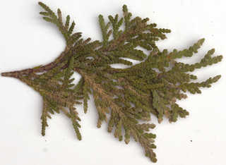 Texture of /plants/conifer-cones-and-needles/conifer-cones-and-needles_0019_14