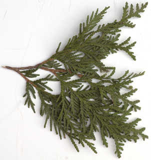 Texture of /plants/conifer-cones-and-needles/conifer-cones-and-needles_0022_02