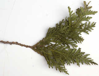 Texture of /plants/conifer-cones-and-needles/conifer-cones-and-needles_0022_03