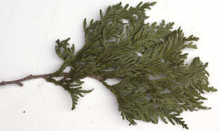 Texture of /plants/conifer-cones-and-needles/conifer-cones-and-needles_0022_06
