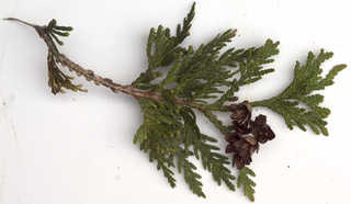Texture of /plants/conifer-cones-and-needles/conifer-cones-and-needles_0024_03