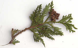 Texture of /plants/conifer-cones-and-needles/conifer-cones-and-needles_0024_04