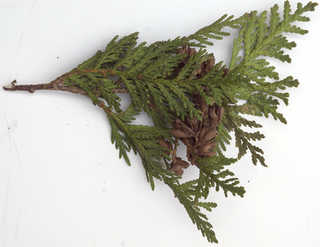 Texture of /plants/conifer-cones-and-needles/conifer-cones-and-needles_0024_05