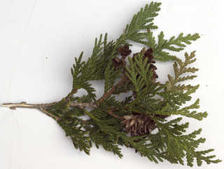 Texture of /plants/conifer-cones-and-needles/conifer-cones-and-needles_0024_06