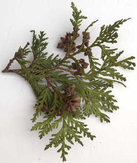 Texture of /plants/conifer-cones-and-needles/conifer-cones-and-needles_0024_07