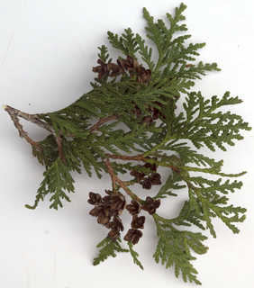 Texture of /plants/conifer-cones-and-needles/conifer-cones-and-needles_0024_08