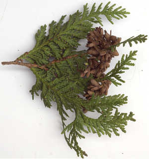 Texture of /plants/conifer-cones-and-needles/conifer-cones-and-needles_0024_09