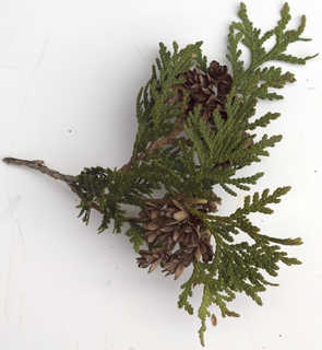 Texture of /plants/conifer-cones-and-needles/conifer-cones-and-needles_0024_12