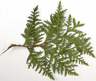 Texture of /plants/conifer-cones-and-needles/conifer-cones-and-needles_0025_02