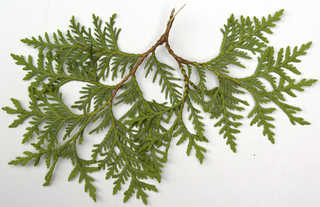 Texture of /plants/conifer-cones-and-needles/conifer-cones-and-needles_0025_06