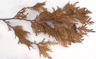 Texture of /plants/conifer-cones-and-needles/conifer-cones-and-needles_0026_03