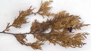 Texture of /plants/conifer-cones-and-needles/conifer-cones-and-needles_0026_04
