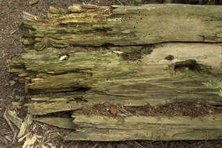Decomposing tree trunks 0001