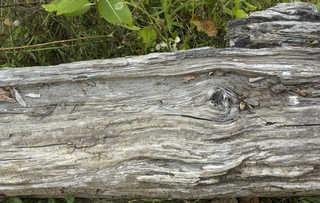 Decomposing tree trunks 0002