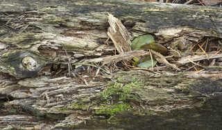 Decomposing tree trunks 0005