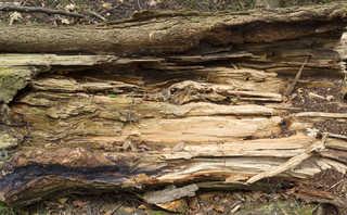 Decomposing tree trunks 0007