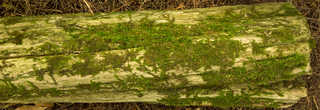 Decomposing tree trunks 0015
