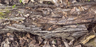 Decomposing tree trunks 0026